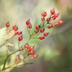 Hagebuttenpulver – gesunde Natur entdecken